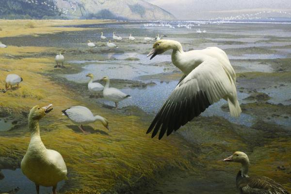 The Waterfowl of North America diorama, completed in 1964