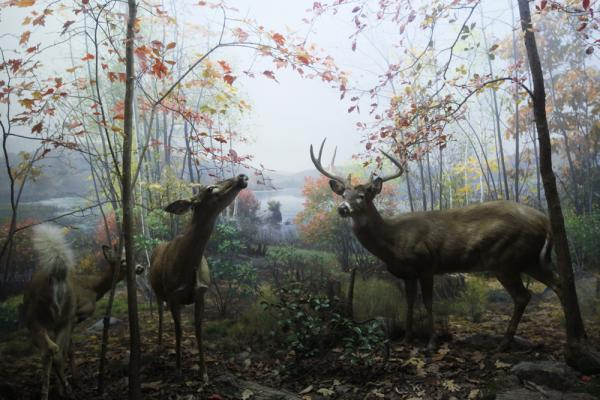 The White-Tailed Deer diorama, completed in 1940
