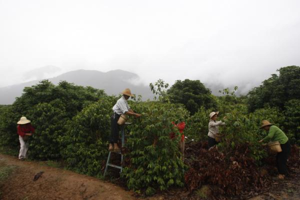 Farmers gather coffee beans in Yunnan province, China.