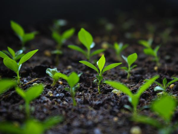 These seedlings at CATIE (multiplied through advanced laboratory techniques) represent a new experimental line of coffee that's resistant to leaf blight.
