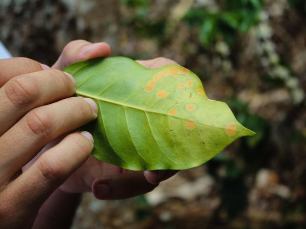 Orange spots on this coffee leaf are the signs of leaf rust.