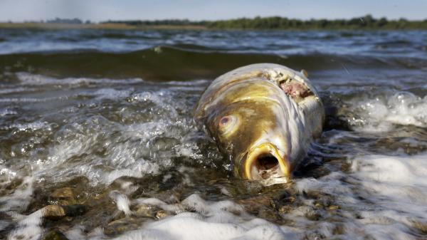 A dead carp floats in water near the shore at Big Creek State Park on Sept. 10 in Polk City, Iowa. Like many agricultural states, Iowa is working with the EPA to enforce clean-water regulations amid degradation from manure spills and farm-field runoff.