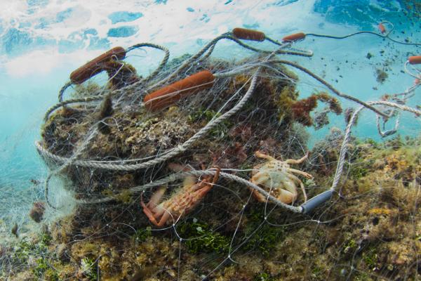A gill net about 300 feet long was found abandoned on a reef near Oahu, Hawaii. Many marine mammals end up caught in fishing gear like these large mesh nets that fishermen set on the seafloor or leave to float in the ocean.