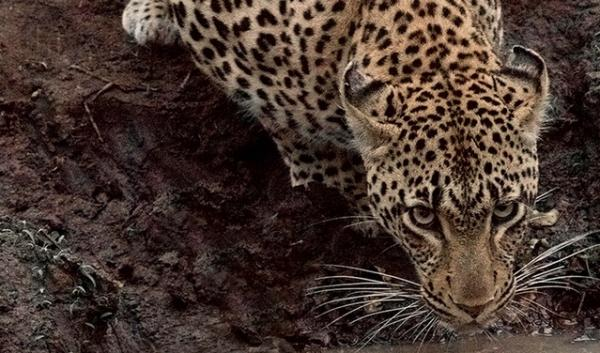 A leopard. Ecologists, including OSU's William Ripple, are arguing that large carnivores play a key role.