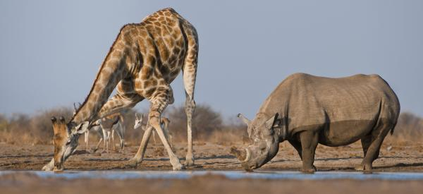 A black rhino and a giraffe stop for a drink in Namibia's Etosha National Park. Only about 5,000 black rhinos remain in the world.
