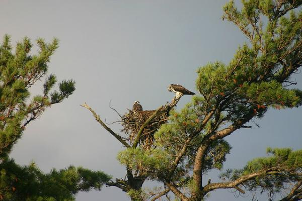 An osprey nest in Umbagog Lake, New Hampshire. (Christine and John Fournier/Flickr)