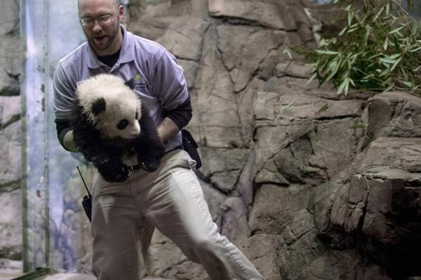 Animal Keeper Marty Dearie carries giant panda bear cub Bao Bao inside the David M. Rubenstein Family Giant Panda Habitat at the Smithsonian National Zoological Park January 6, 2014 in Washington, DC. (Chip Somodevilla/Getty Images)