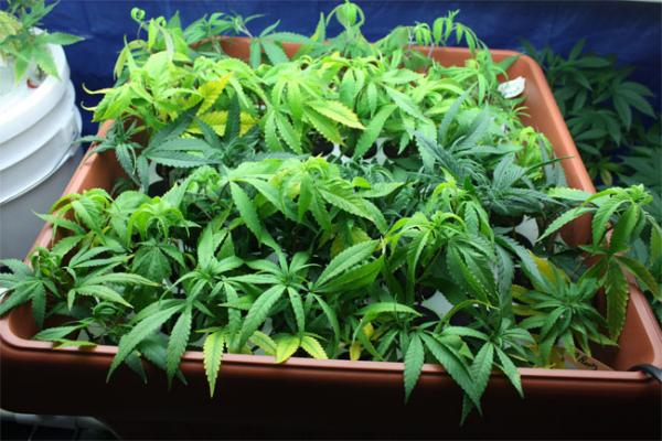 File photo of a of a cannabis plant.