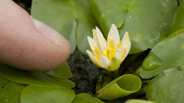 One of the world's rarest flowers has been stolen, Britain's Kew Gardens announced this week. The water lily Nymphaea thermarum is seen here in 2010.