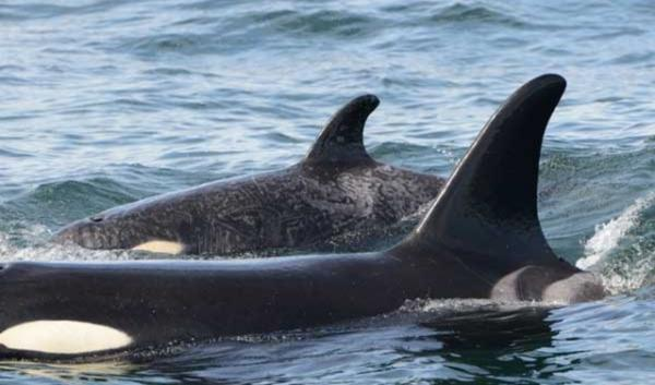 The Center for Biological Diversity is asking for a major expansion in the protected habitat for Puget Sound's killer whales.
