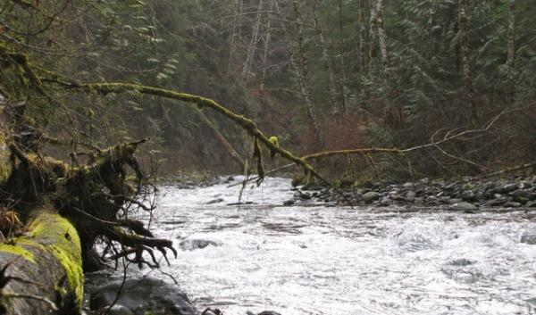 The Gray Wolf River drops more than 5,000 feet in elevation on its 25-mile run from the Olympic Mountains to where it empties into the Dungeness River near the town of Sequim, Wash. This section is in National Forest and could one day be logged.
