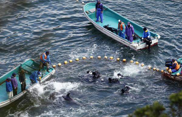 Fishermen in wetsuits trap dolphins in a cove off Taiji, western Japan, on Monday.