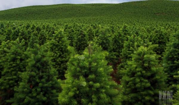 Congress is on the verge of approving a surcharge on Christmas trees to pay for a national board's promotion of this leading Northwest crop.
