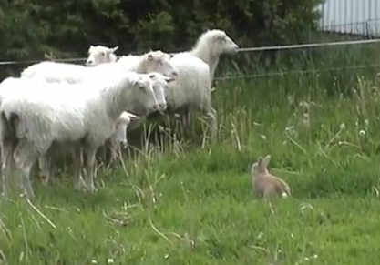 A rabbit tries to herd a flock of sheep.