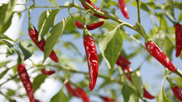 "According to recent reports from a research team led by Australian biologist Monica Gagliano, some plants such as chili peppers may be able to ""hear"" other plants."