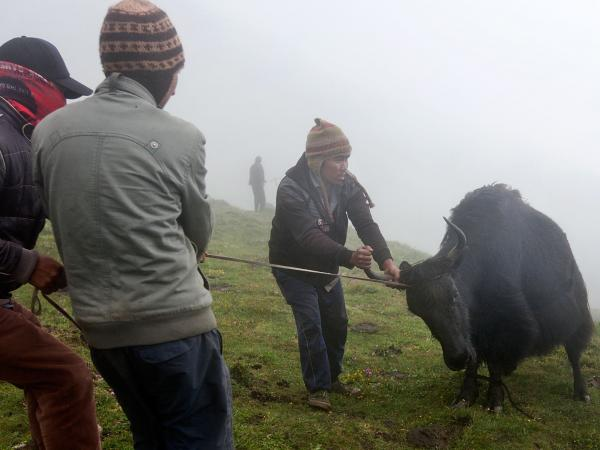 Men struggle with a yak before he is bled. About five yaks are caught each morning during the festival. Each yak supplies about 15 glasses of blood.