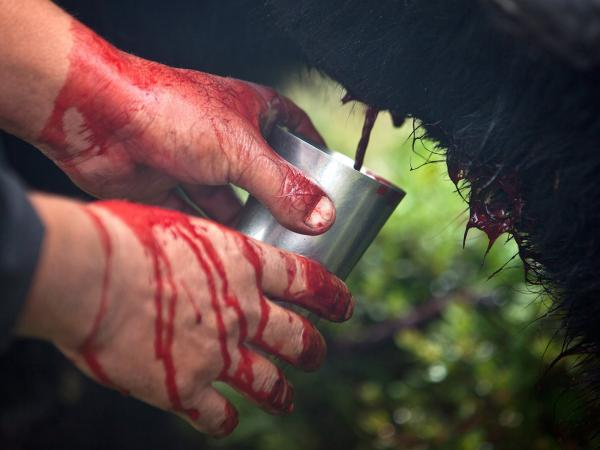 Blood flows from an incision in a yak's vein into into a cup. The yak will be released after he is bled.