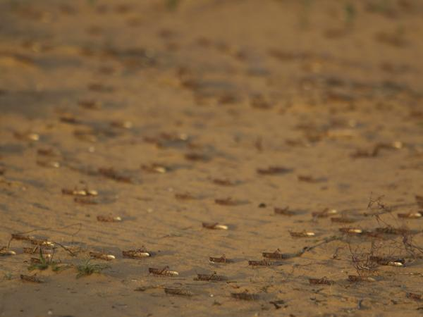 Locusts land on a sand dune in Negev Desert, southern Israel on Tuesday.