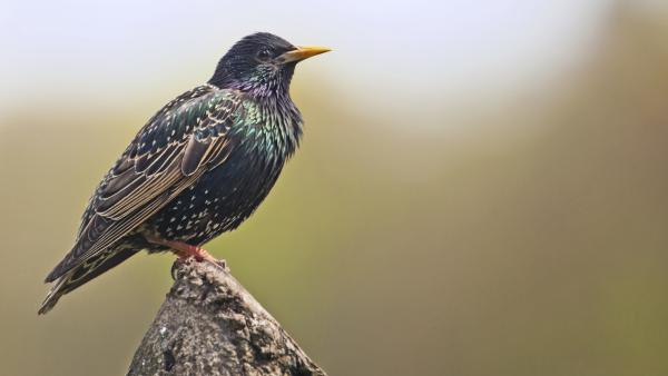 Scientists could use recordings of wildlife to monitor the movements of invasive species like the European starling.