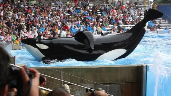 "Tilikum, a 6-ton orca who has killed two of his SeaWorld trainers, is the main subject of <em>Blackfish,</em> a documentary that describes itself as ""a psychological thriller with a killer whale at its center."""