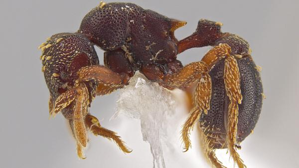 A side view of the new ant species <em>Eurhopalothrix zipacna</em>. Mounting glue and paper appear beneath the ant, one of 33 new species discovered in Central America by Jack Longino, a biologist at the University of Utah.