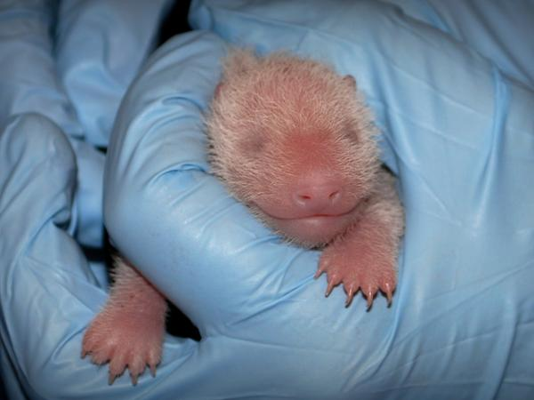 The Smithsonian National Zoo's newest giant panda on Aug. 25, two days after her birth.