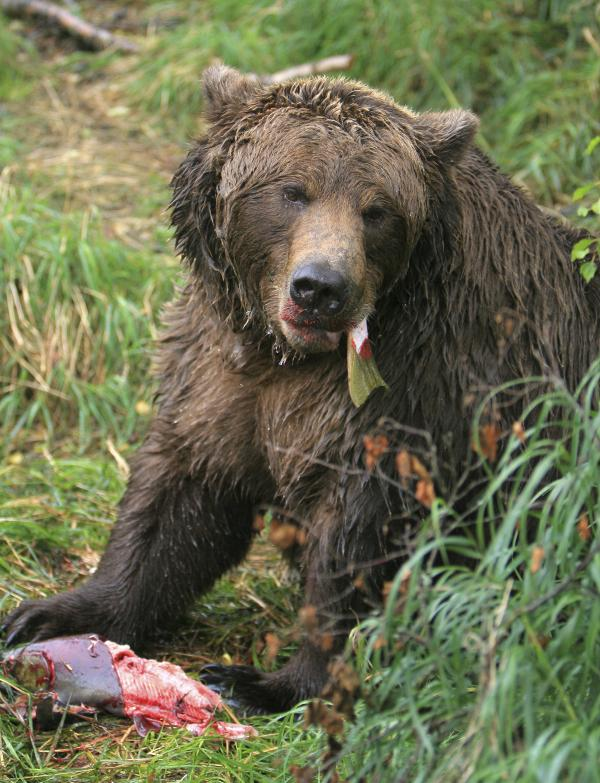 Decaying leftovers from this Alaskan brown bear's meal add helpful nutrients to the soil.