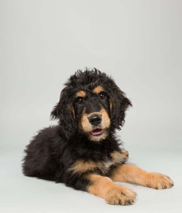 Bach <strong>Age:</strong> 14 weeks <strong>Breed:</strong> Bernedoodle <strong>Fact:</strong> Thinks Mozart is overrated.