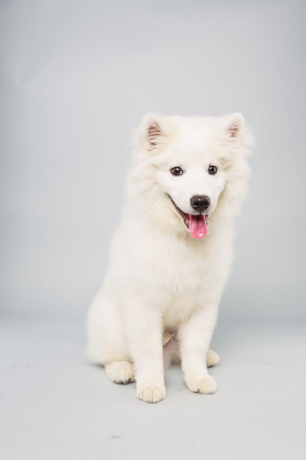 Brody <strong>Age:</strong> 15 weeks <strong>Breed:</strong> American Eskimo <strong>Fact:</strong> One day wants his own doghouse.