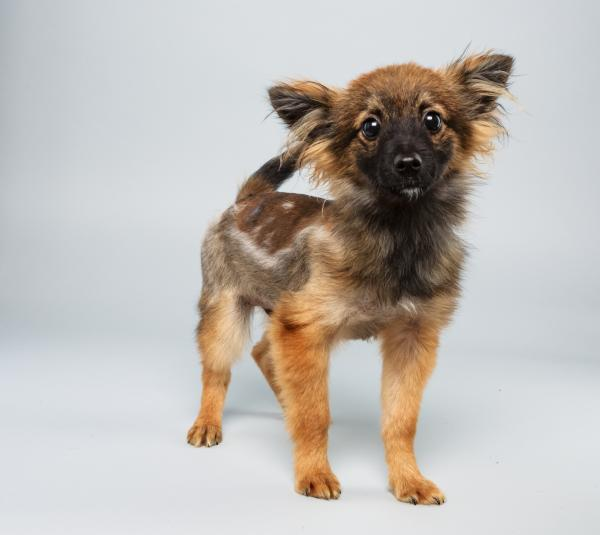 Danny <strong>Age:</strong> 12 weeks <strong>Breed:</strong> Papillon mix <strong>Fact:</strong> Aspires to have hair like One Direction's Harry Styles.