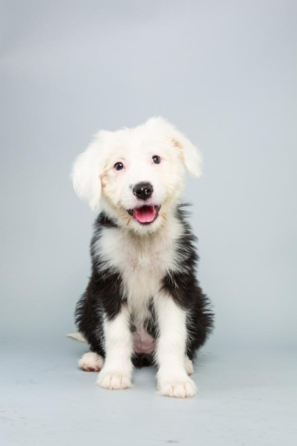 Ginger <strong>Age:</strong> 12 weeks <strong>Breed:</strong> Old English sheepdog <strong>Fact:</strong> Counting sheep automatically puts her to sleep.