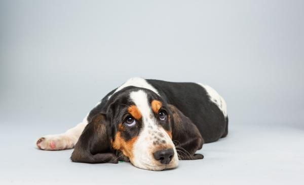 Lily <strong>Age:</strong> 13 weeks <strong>Breed:</strong> Basset hound <strong>Fact:</strong> Tries not to step on her own ears.