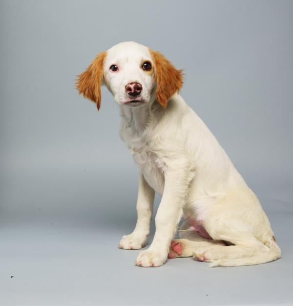 Loren <strong>Age:</strong> 14 weeks <strong>Breed:</strong> Brittany spaniel mix <strong>Fact:</strong> Prefers NCAA 14 to Madden 25.