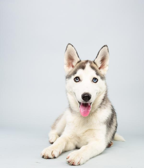 Suri <strong>Age:</strong> 14 weeks <strong>Breed:</strong> Siberian husky <strong>Fact:</strong> Thinks they should cut Miley Cyrus some slack.