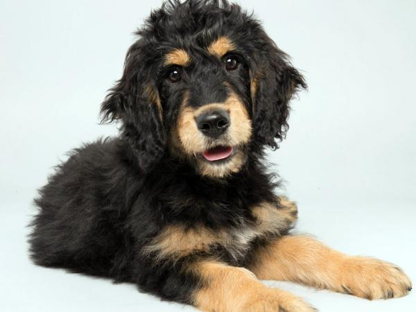 Bach, a 14-week-old Bernedoodle, is one of the competing canines in this year's Puppy Bowl.