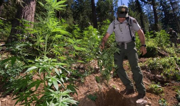 A national park ranger helps other law enforcement agencies eradicate a marijuana growing operation discovered in the park.