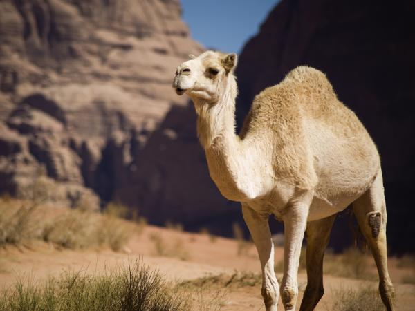 Camels in Jordan supply the milk for a Missouri startup's skin-care line. The company is studying the milk's anti-inflammatory properties.