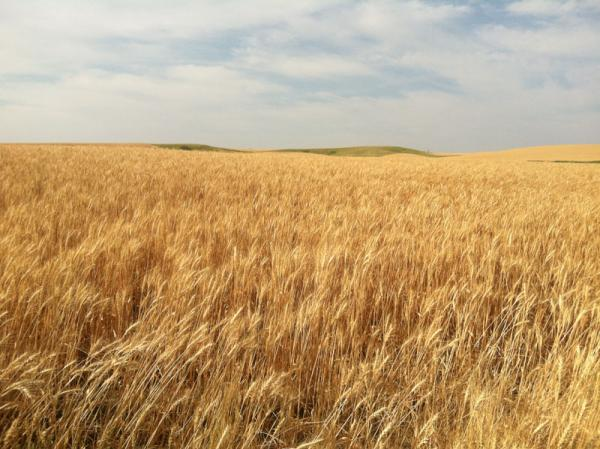 Wheat fields in Lincoln County, Wash.