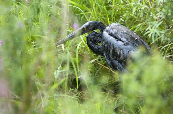 A Great Blue Heron covered in oil after the Enbridge oil spill in the Kalamazoo River.