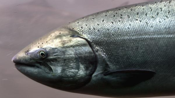 A fish that knows the way to go: the Chinook salmon, which appears to use the Earth's magnetic field to navigate ocean waters and rivers.
