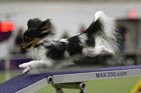 A Papillon speeds down a ramp in the agility ring.