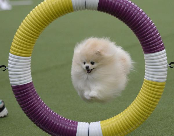 A Pomeranian soars through a ring and on to the next obstacle.