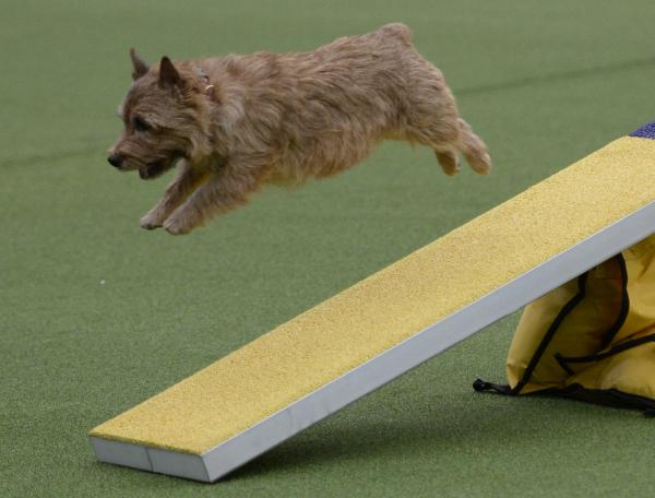A terrier makes a mighty leap off a ramp.