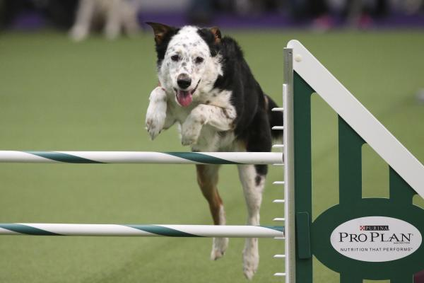 Panda, a mixed breed, takes a jump. Dogs were scored by their speed and ability to follow the course accurately, which meant following their human partners' signals.<br /><br />