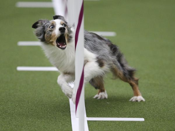 Sky, an Australian shepherd, runs the weave poles with the intensity of an Olympian.