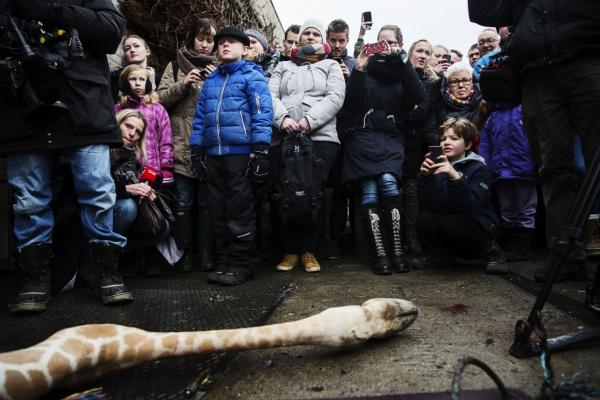 A perfectly healthy young giraffe named Marius was shot dead and autopsied in the presence of visitors to the gardens at Copenhagen zoo on Febuary 9, 2014 despite an online petition to save it signed by thousands of animal lovers. (Kasper Palsnov/AFP/Getty Images)