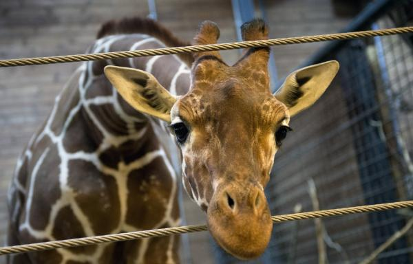 Marius, a perfectly healthy young giraffe, is pictured Feb. 7, 2014. (Keld Navntoft/AFP/Getty Images)