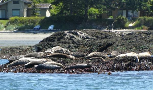 Harbor seal populations in Puget Sound have boomed since the 70s. As part of the experiment, scientists will tag 12 seals to monitor their movement in relation to the out-migrating steelhead. The seals sometimes eat steelhead.
