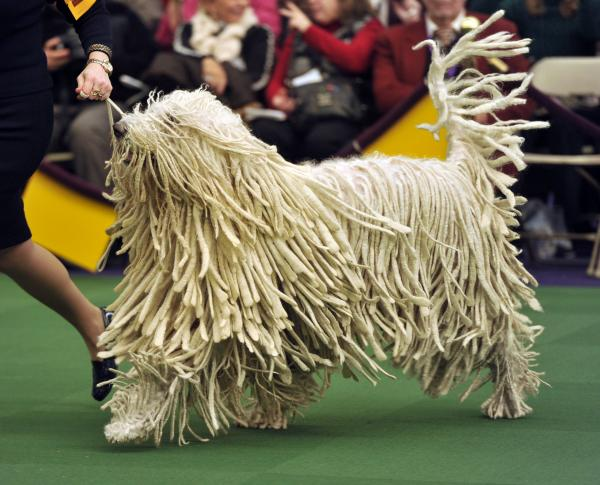 A komondor with the breed's distinctive matted coat runs in the judging ring.