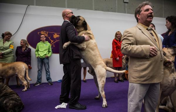 A mastiff gives his handler a bear hug.